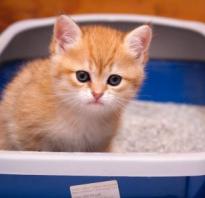 Кровь в моче у кота или кошки (гематурия): причины, что делать и как лечить