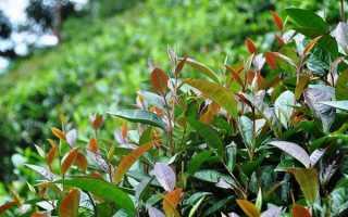 Влияние зеленого чая на потенцию мужчин