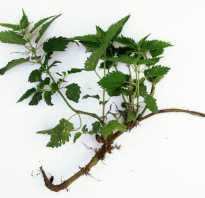 Крапива при простатите: корни, отвар, настойки — лечение простатита крапивой