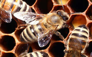 Перга пчелиная для мужчин: чем полезна и как принимать
