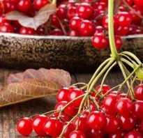 Едим калину от подагры: полезные свойства и вред ягод, противопоказания к применению и меры предосторожности, рецепты приготовления настоев и морсов, влияние на болезнь